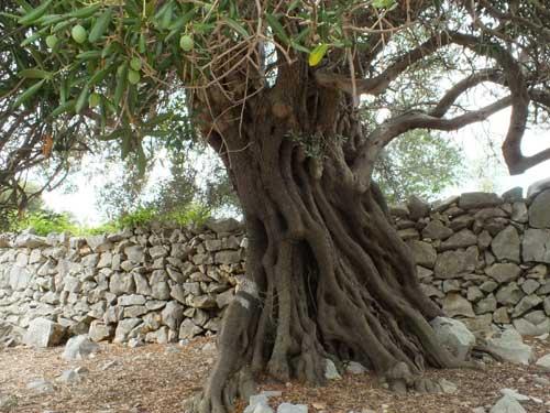 Olivenbaum und Trockenmauer in Lun